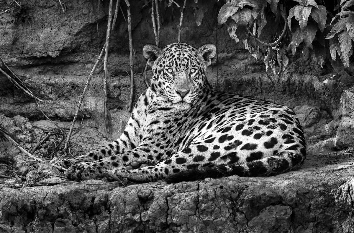 Onça fotografada no Pantanal por Araquém Alcantara